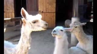 Spooning llamas