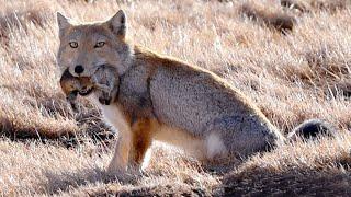 Тибетская лиса – хитрый и находчивый хищник! Квадратная голова – залог успеха!