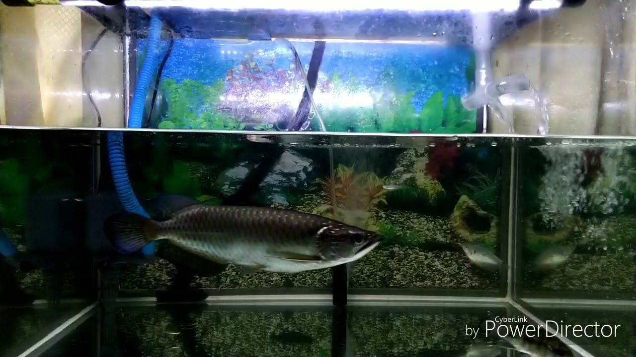 Arwana Jardini Makan Ikan Kecil Youtube