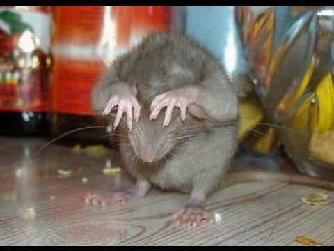 Крысы под натяжным потолком