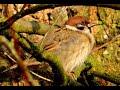 Vrabec Poln Eurasian Tree Sparrow Feldsperling Mazurek  Mp3 - Mp4 Download
