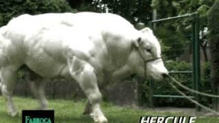 Bovia - Fabroca Hercule+veaux
