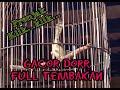 Prenjak Klik Ciwah Gacor Roll Bren Untuk Pikat Dan Masteran Handal  Mp3 - Mp4 Download
