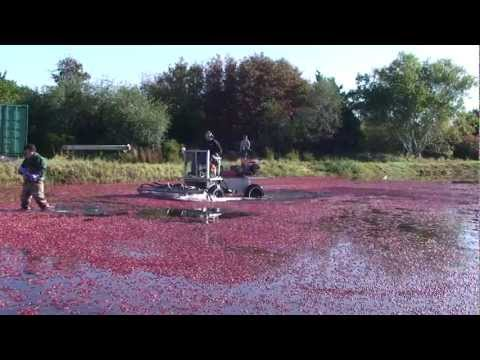 Cranberry Harvest From Bog To Table