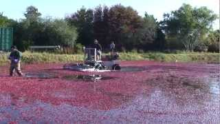 Cranberry Harvest: From Bog to Table