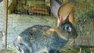 Порода кроликов Фландр (бельгийский великан)(, 2015-06-03T06:14:09.000Z)