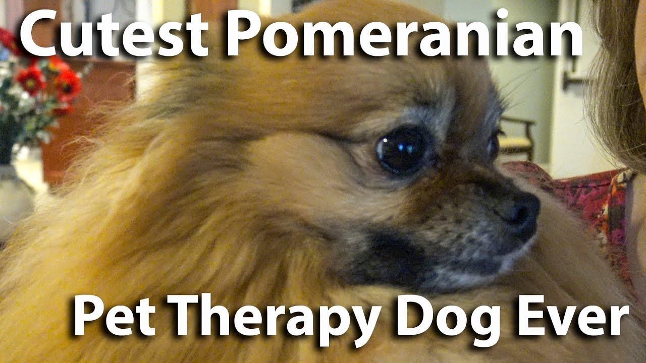 Cutest Pomeranian Pet Therapy Dog Molasses
