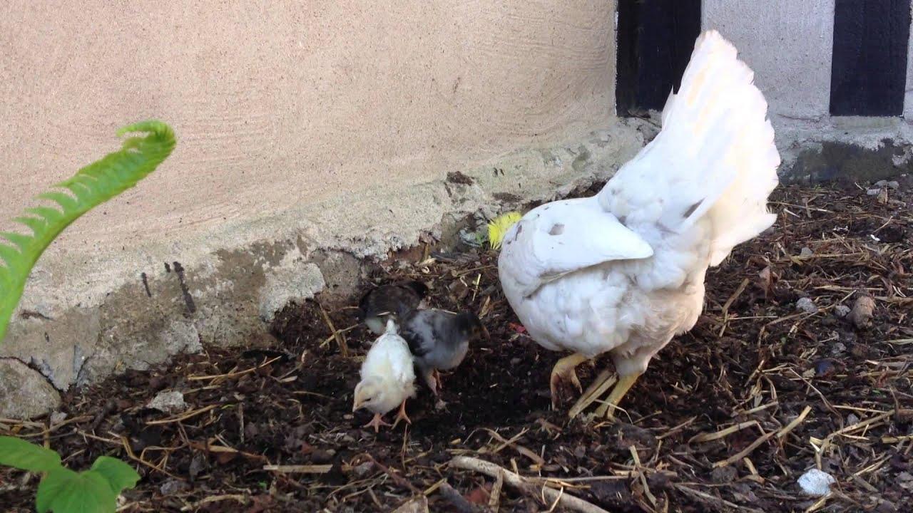 svart kycklingar video kuk suga vids