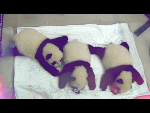 Trillizos panda, lo nunca visto