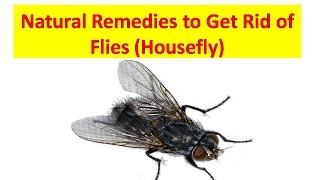 How to Get Rid of Flies in the House Naturally || How to Kill House Flies