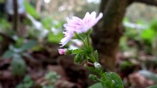 Pink Purslane (Claytonia sibirica) - 2014-10-19