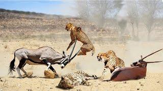 Cheetah vs Oryx | Lion attack Buffalo | Wild Animal Attacks
