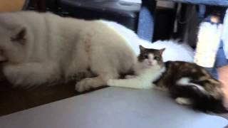 先輩サモエド犬が好きで好きでたまらない後輩猫ノルウェージャンフォレ...