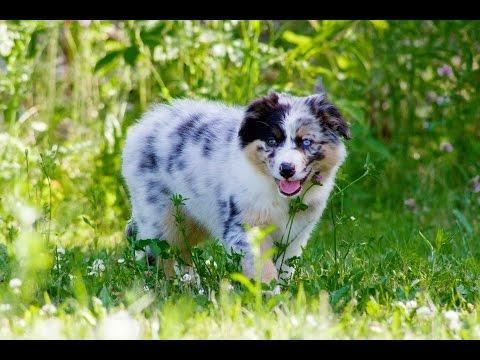 Cutest Australian Shepherd Puppy Ever!!!!!!