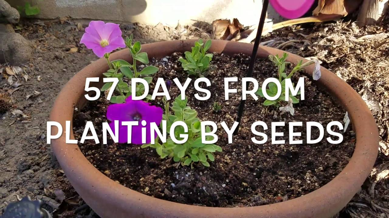 How to grow petunia from seeds - How To Grow Petunia From Seeds 4