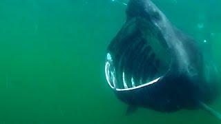 10 Maiores Tubarões do Mundo