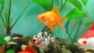 Золотые рыбки сортовые Видео Новосибирск продам