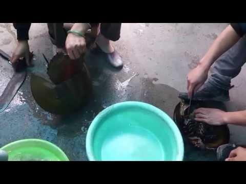 Giết thịt sam biển