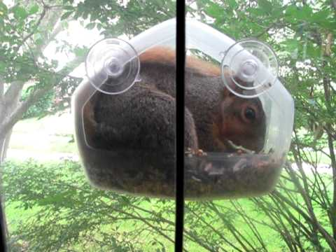 Squirrel Stuffs Himself Into Window Bird Feeder Youtube