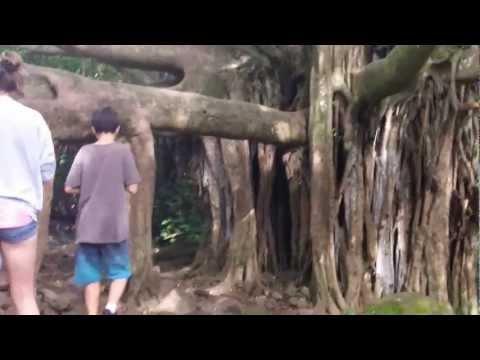 Banyan Tree in Haleakala National Park