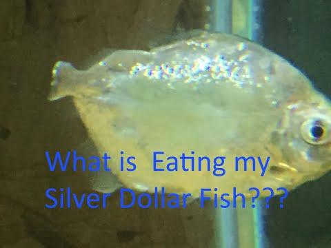 Silver Dollar Fin Nipping!