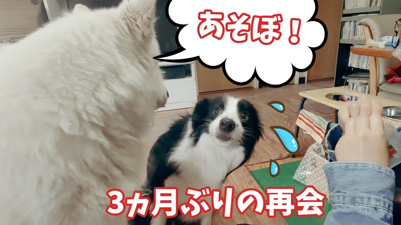 3ヵ月ぶりに再会したホワイトシェパードとボーダーコリー、どうなる?【Doggy Box】