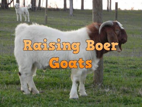 Raising boer goats meat