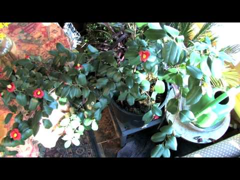 Growing Camellia Indoors