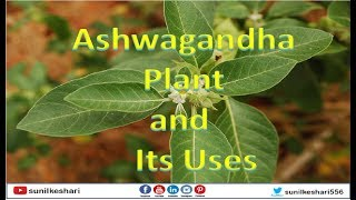 ashwagandha plant and its uses | Rennet | Withania somnifera