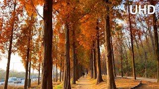 [4K] Peaceful Walk Metasequoia…