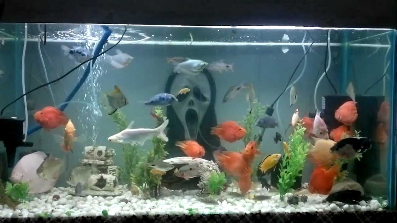 5 flower horn and types of cichlid together youtube for Big 5 fishing license