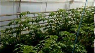 как правильно опылять помидоры(опылять раз неделю., 2016-03-16T11:14:33.000Z)