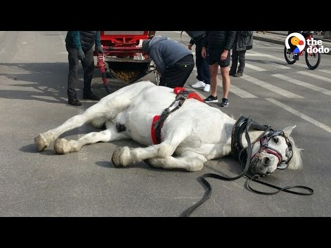 Exhausted Carriage Horse Falls Over In The...