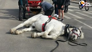 Exhausted Carriage Horse Falls Over In The Street | The Dodo