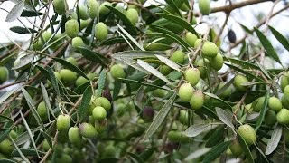 Growing the Table Olive (Olea europaea)