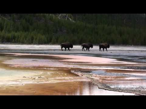 cleeef's Yellowstone in HD clip #7 - Bison behind Grand Prismatic