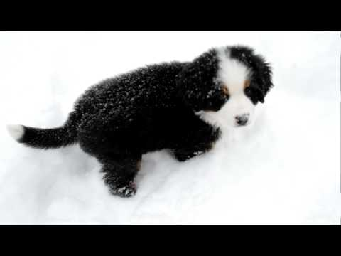 Josie: 9 week old Bernese Mountain Dog Pup Playing in Snow