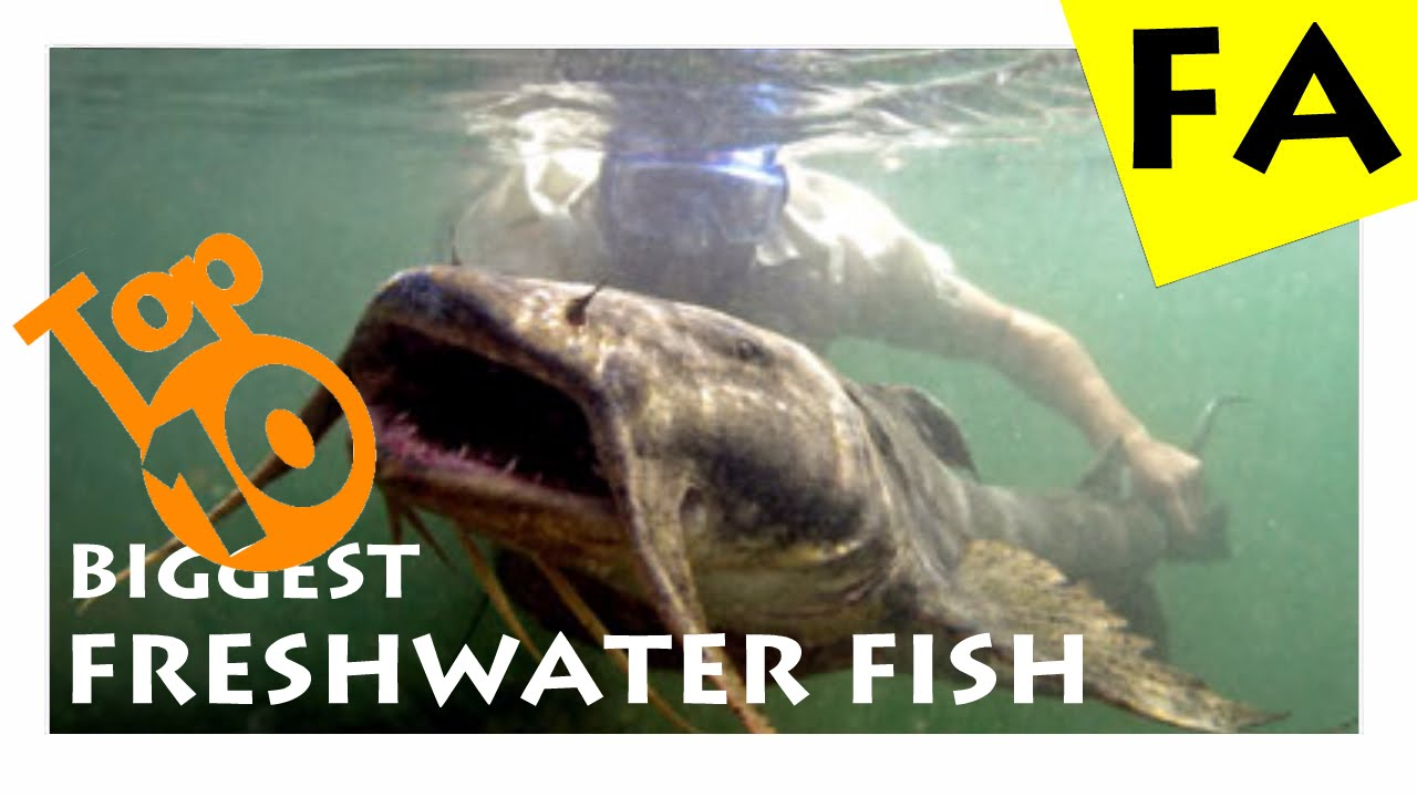 Top 10 biggest freshwater fish in the world youtube for Fish store reno