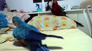 Arara Maria e Chico brincando com a arara de brinquedo