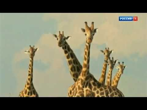 Вопрос: Почему в Австралии не водятся жирафы?