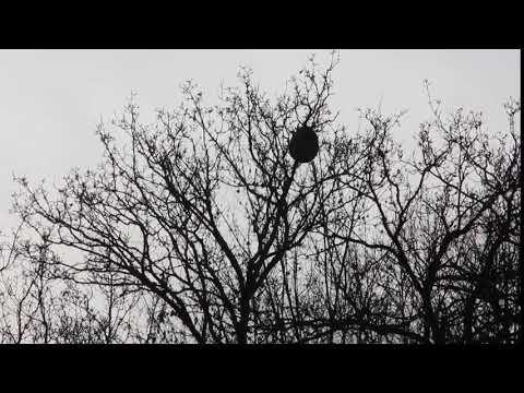 VÍDEO Voladura de un nido de avispa Velutina en Prestín