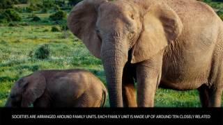 African Elephant - Animals Category - Wiki Videos by Kinedio