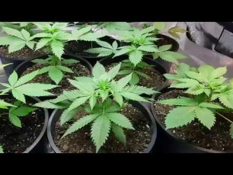 Ep #26 Week 2 Vegetation  Feeding Schedule For Indoor Cannabis Grow Room How To Grow Weed Easy