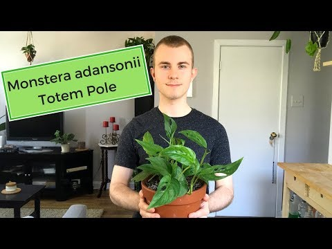 Staking my Monstera adansonii (Totem Pole Houseplants)