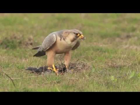 Barbary Falcon (Red-Naped Shaheen) - Devouring Prey