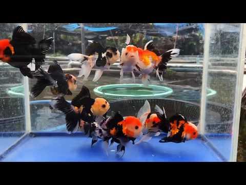Cute Goldfish / Cute Sharkchu 💖 & Ranchu & Tricolor oranda