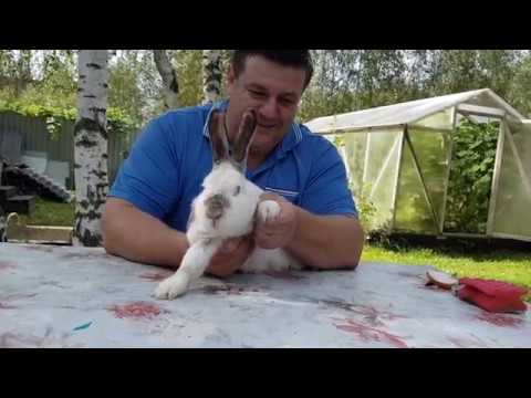 Вопрос: Как лечить лапу декоративному кролику?