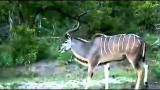 Kudu Wielkie /samiec/                - dzika przyroda Afryki ,, Safari