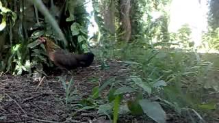 Ayam Hutan Pikat Betina 24