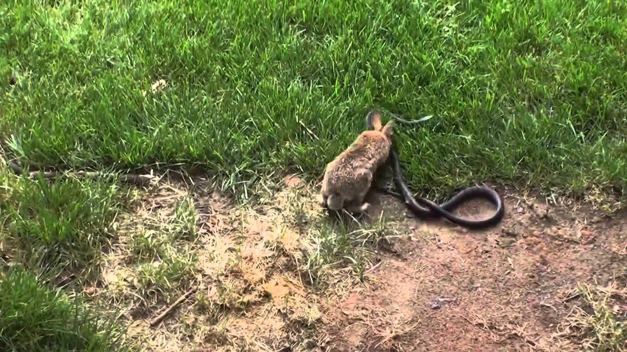 الأرنبه الشجاعه
